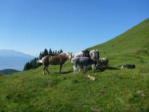 Pferde und Kühe auf der Kranzhornalm